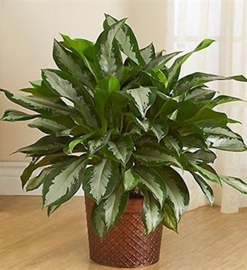 Picture of Aglaonema Floor Plant